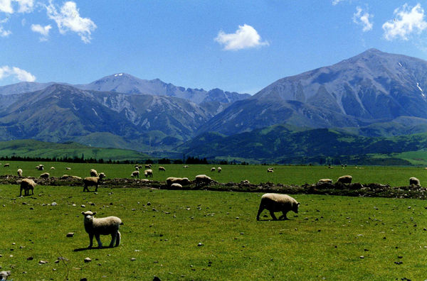 New Zealand Sheep Country